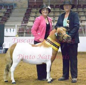 Outstanding Chestnut Pinto, Shetland, Mini filly Nabiac Great Lakes Area Preview