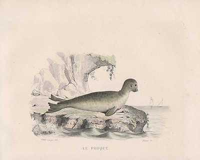 Seehund Phoca vitulina Robbe STAHLSTICH von 1838 Harbor seal Le Phoque Buffon