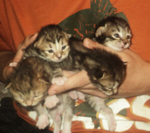 Ready to come home AUG 5th! Bengal X Kittens