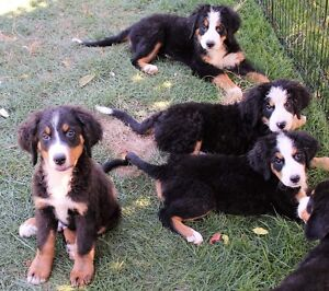Dogs For Sale Chatham Kent Ontario