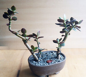 Charmant Crassula ovata bonsai / Plante d'interieur.