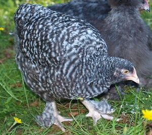 SOLD PPU - Cuckoo Maline Pullets (young hens) for sale