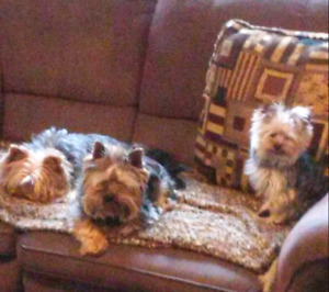 Adult male brother yorkies