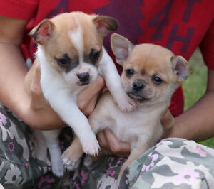 Thursday delivery from Smithers to Penticton 3/4 Chihuahua pups
