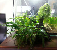 JAVA FERN MOSS on DRIFTWOOD Aquarium Fish Tank Plants
