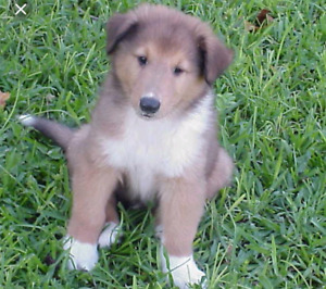 Looking for a collie puppy