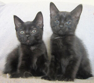 2 loving Male kittens FREE to good homes