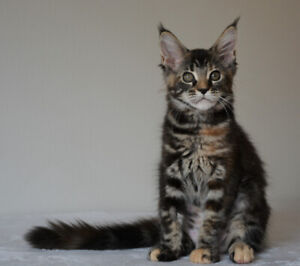 Kittens, MAINE COON, pure breed, registered
