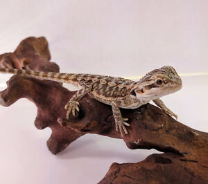 Bearded Dragon Starter Kit - DRAGON INCLUDED!!