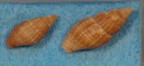 Mitra Nebularia Nodulosa 2 Shells 17+23mm S. Bimini,Bahamas Low Tide Under Rocks