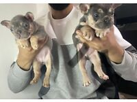 Kennel club registered french bulldog READY NOW!!!