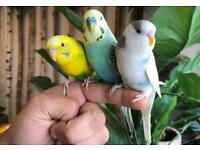Lovely Pair of Budgies With Large Cage