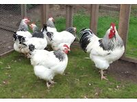 Large Light Sussex hens, poultry, chickens, layers, pullets