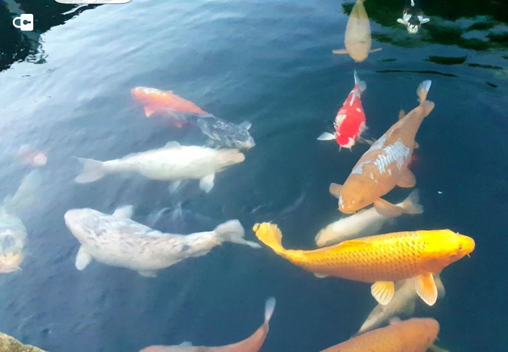Koi carp fish 61363 vizualize Koi carp food for sale