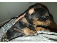 Family bred 100% Doberman puppies from our own calm Male/Female dogs, gorgeous!!