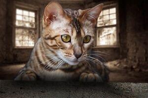 Élevage de chats bengal qualité incroyable/ 2 chatons dispo
