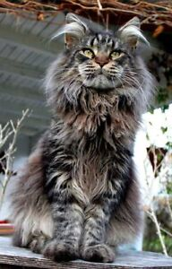 MALE Maine Coon / Ragdoll or similar Wanted
