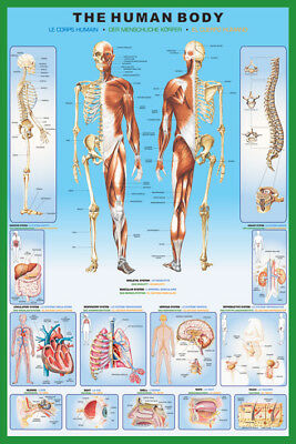 THE HUMAN BODY 24X36 POSTER DOCTOR ANATOMY SKELETON MUSCLES ORGANS OFFICE - Organs Human Body