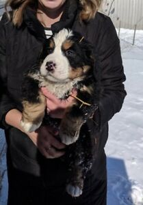 Bernese Mountain Dog Puppies *All sppu