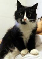 "Adult Female Cat - Tuxedo-Domestic Long Hair: ""Lolita"""