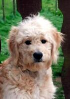"Young Male Dog - Golden Retriever-Poodle: ""Charlie"""