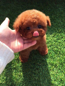 super cute❤a red teacup poodle baby girl!~❤