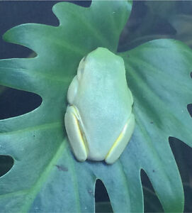 Red Eyed Green Tree Frogs Parafield Gardens Salisbury Area Preview