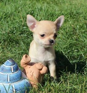 Chihuahua | Adopt Dogs & Puppies Locally in Ontario | Kijiji