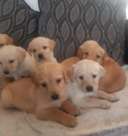 7 beautiful labrador puppys