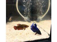 Tropical Fish Betta Female healthy & colourful