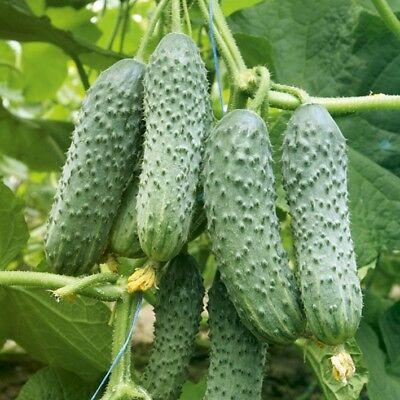 Cucumber Aladdin F1 Seeds cucumbers organic non gmo Ukraine 0.5 g Farmer idea (Cucumber Ideas)