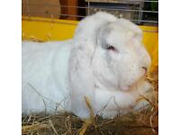RESCUE RABBITS NEEDING HOMES