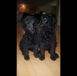 Standard poodle puppies UPDATE ONLY 2 LEFT!!