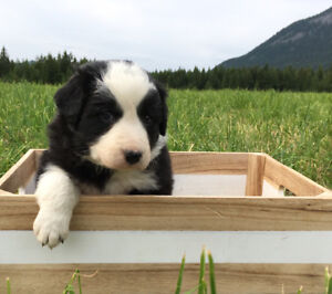 Registered Border Collie Puppies for Sale