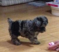 Merle Yorkie Poodle Puppies!