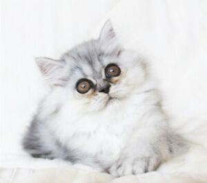 Persian Female Kitten with Amber Eyes