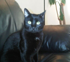 LOST CAT BLACK from Brigadoon area of Kitchener