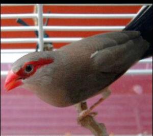 Beautiful red eared waxbill birds for sale at (BUY ME PET STORE)