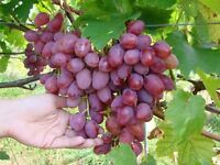 Different sorts of grapevines grown in Ukraine , Russia, Bulgaria , Hungary ,Moldavia .