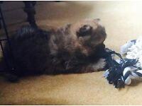 adorable pomeranian puppys