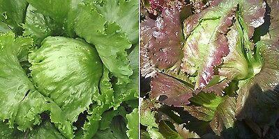 200 Samen knackige Salat Mischung Batavia Eisbergsalat rot und grüne