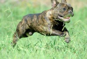 Stunning French Bulldog Boys, Brindle beauties for new families