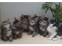 2 Left* Fluffy & Short Tabby Siberian x kittens ready. See prices