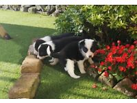 3 Beautiful Border Collie Pups for Sale