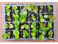 Tray of 24 begonia sahara bedding plants Hurley