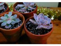 Echeveria Lilacina Succulent Plant in Clay Terracotta Pot