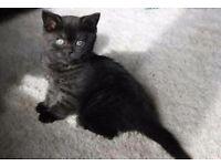 Black tabby kittens