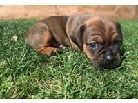 Last Daug pup ready now
