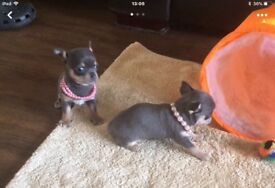 Kc reg girl chihuahua blue and tan fully vaccinated micro chipped wormed large puppy pack and food