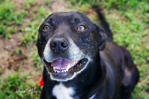 Sam - Male Staffy cross Morayfield Caboolture Area Preview